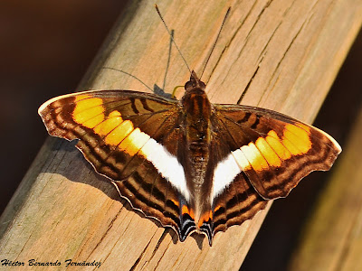 Mariposa zafiro del talar Doxocopa seraphina
