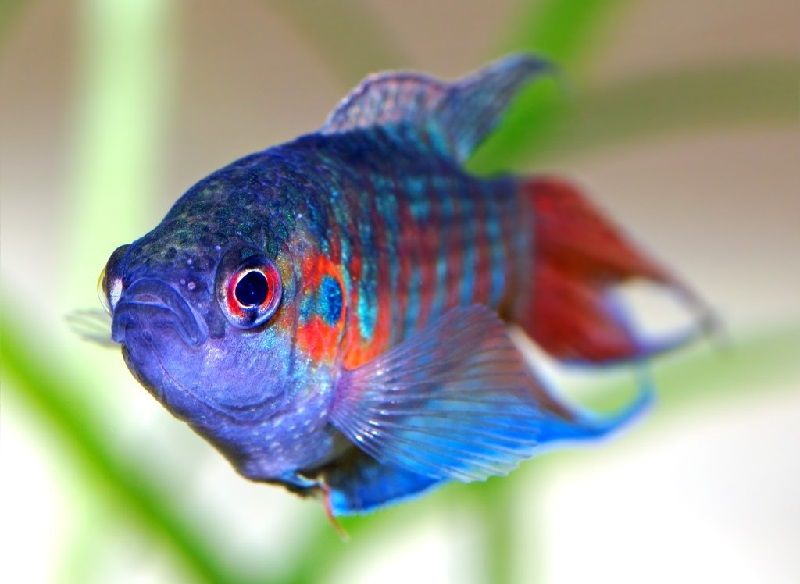 23. Jenis Ikan Hias Aquascape Paradisefish