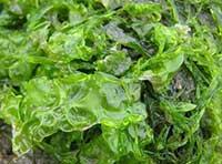 Chlorophyta/Alga hijau