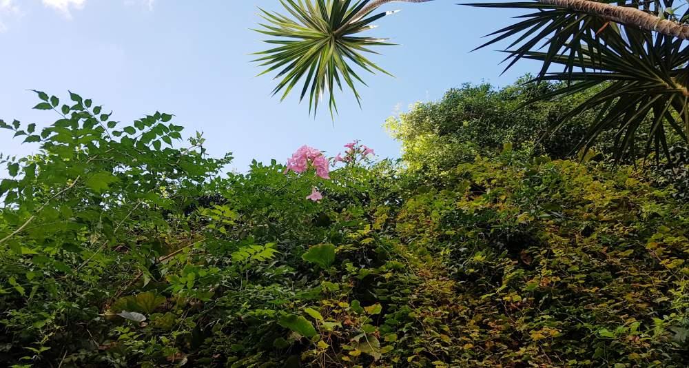 Podranea ricasoliana flor