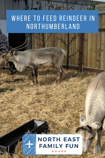 The Reindeer Retreat Cafe & Feeding Reindeer at Azure Garden Centre, Northumberland