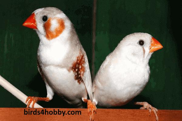 طيور الزينة زوج عصفور الزيبرا فنيش male and female finches