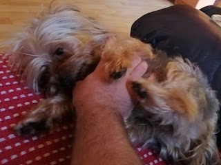 Yorkshire Terrier loving attention and needs loving new home