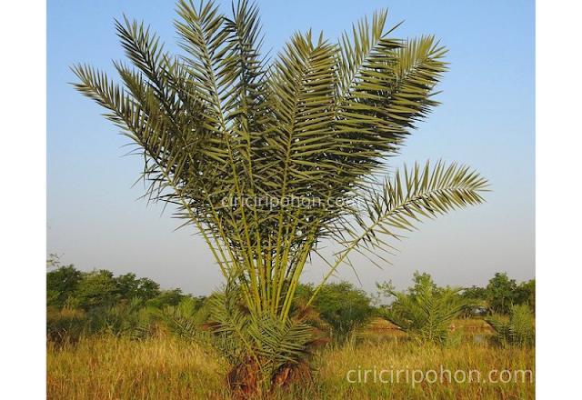 Ciri-Ciri Pohon Kurma