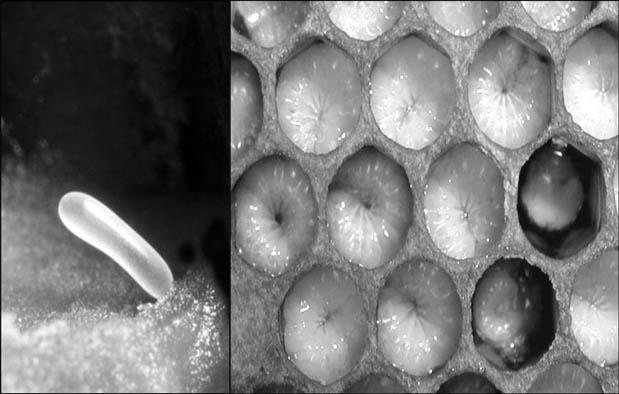 Gambar Metamorfosis Lebah