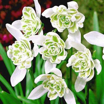 زهرة نبات الثلج ، زهور الثلج