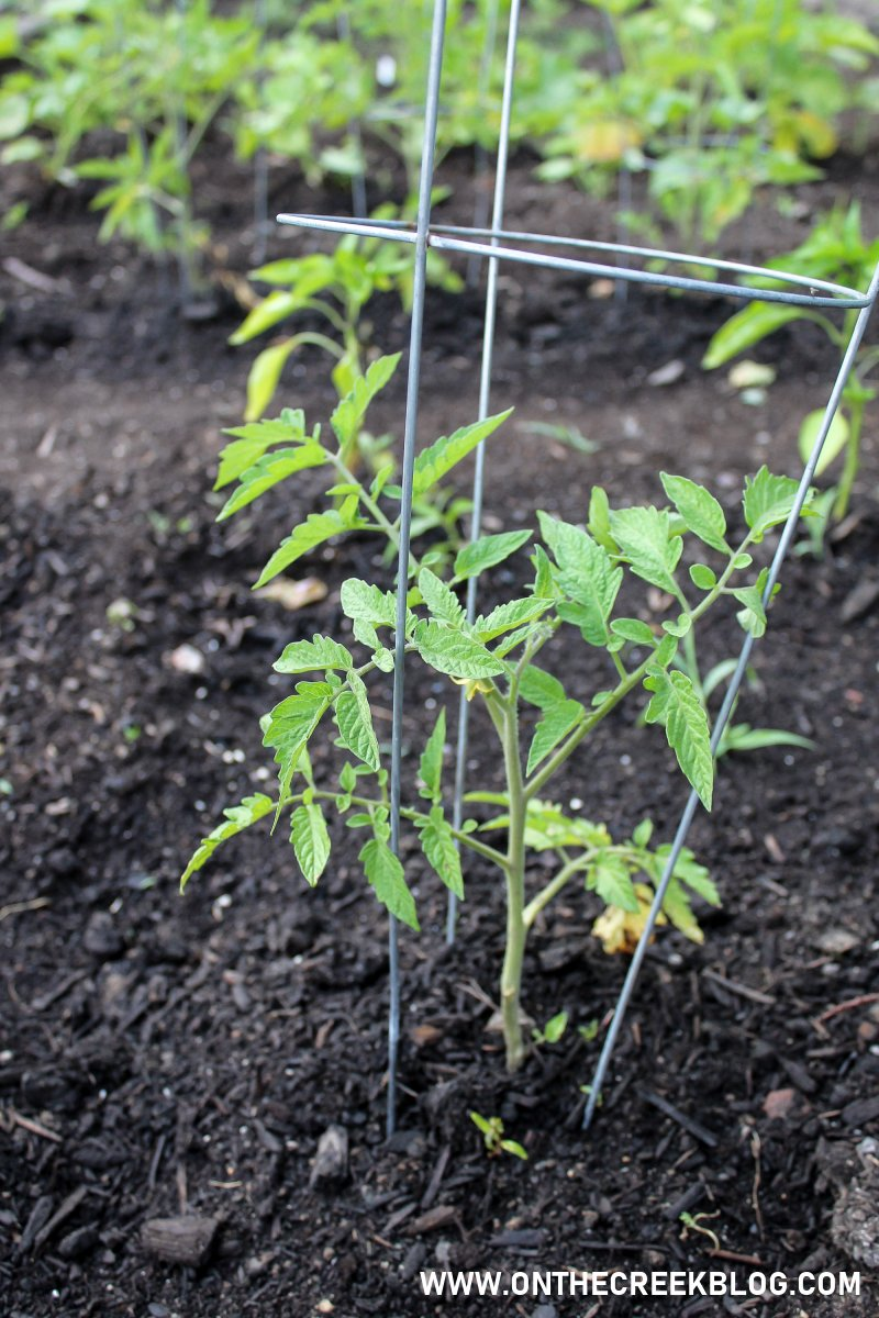Using tomato cages to support tomato plants | On The Creek Blog // www.onthecreekblog.com