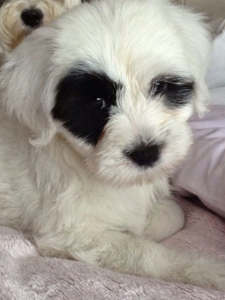 Rules Of The Jungle Tibetan Terrier Puppies
