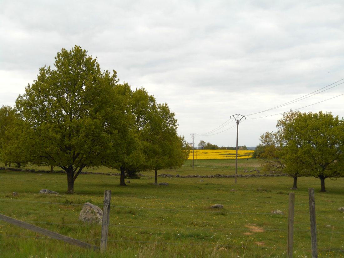 Pascoli e campi di colza in fiore