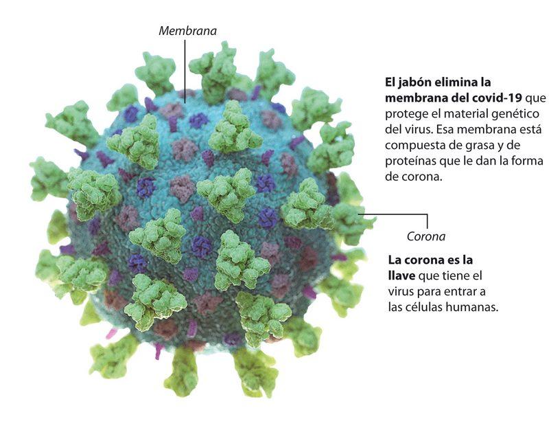 El jabón le quita la corona al coronavirus y la disuelve