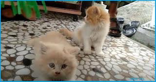 Anak kucing jenis persia medium