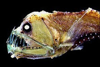 Image of a Sloane's viperfish