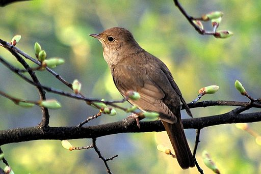 معلومات عن طائر العندليب