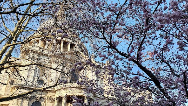 櫻花與聖保羅大教堂