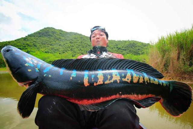 Channa micropeltes / Ikan Toman