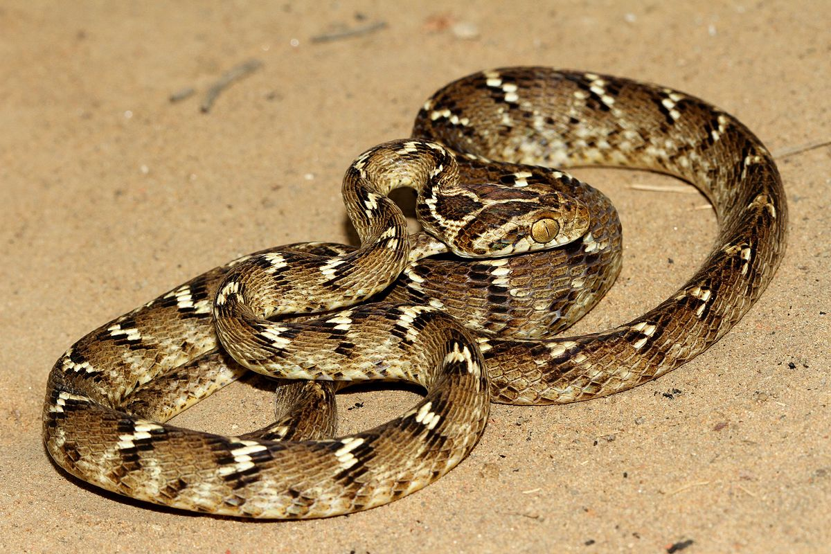 common snakes in india Snakes in connecticut a guide to snake  introduction hundreds of snakes are needlessly killed each year because of mistaken identity,  common gartersnake.
