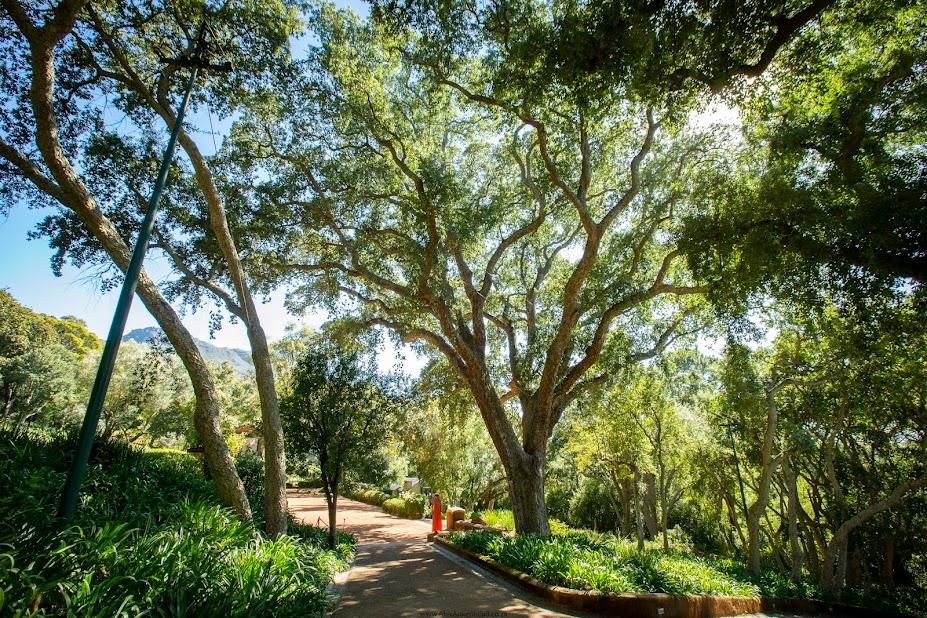 champion cork oak, Ina Paarman Champion Cork oak, Champion Trees, Constantia, Treehouse,