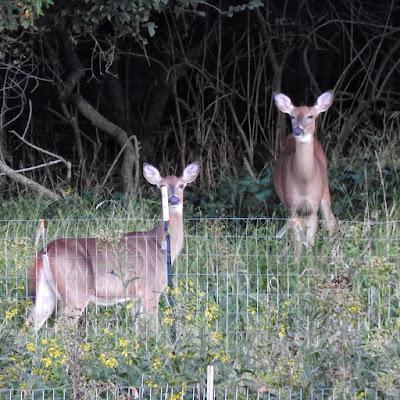 Deer on the Edge