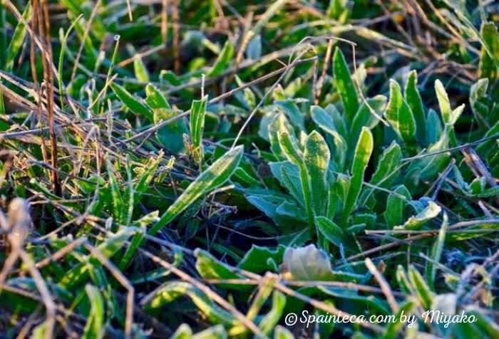 凍った霜に覆われた雑草
