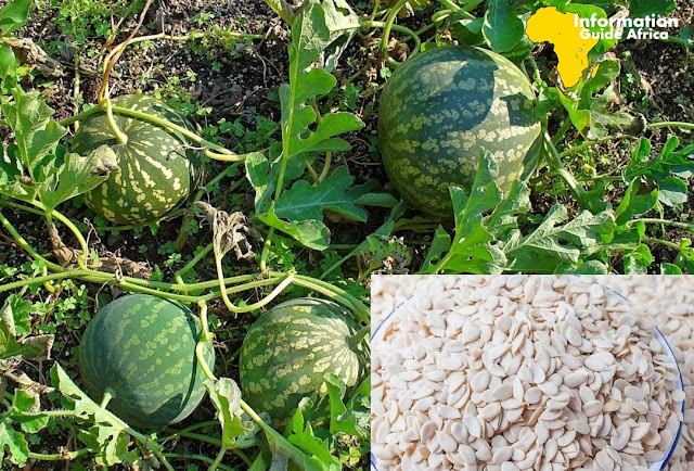 Melon Farming Business In Nigeria