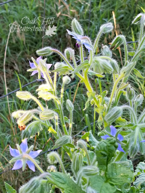 Borage repels tomato hornworms and attracts bees.