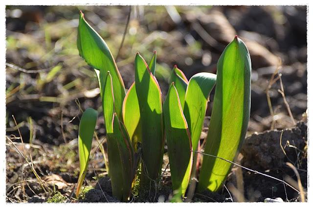 feuilles de tulipes au début de printemps