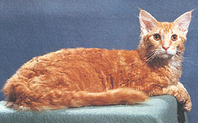 Rexed Maine Coon
