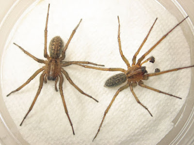 Giant house spider vs Hobo spider Identification, Bite, Size