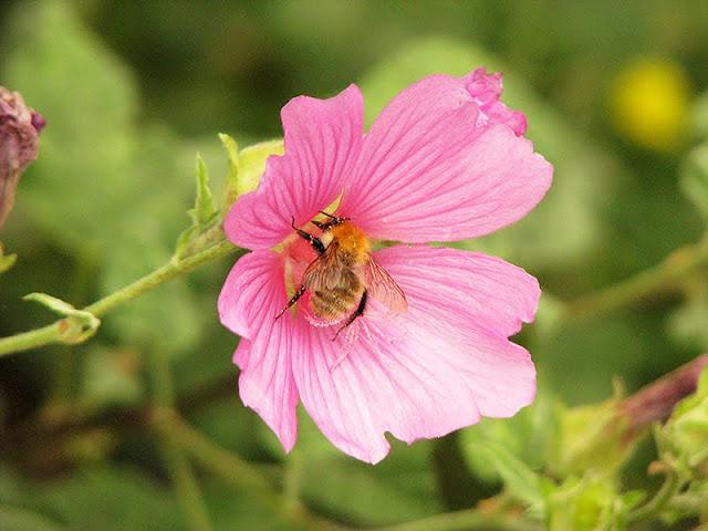 Un bombus sur une fleur de lavatère arbustive