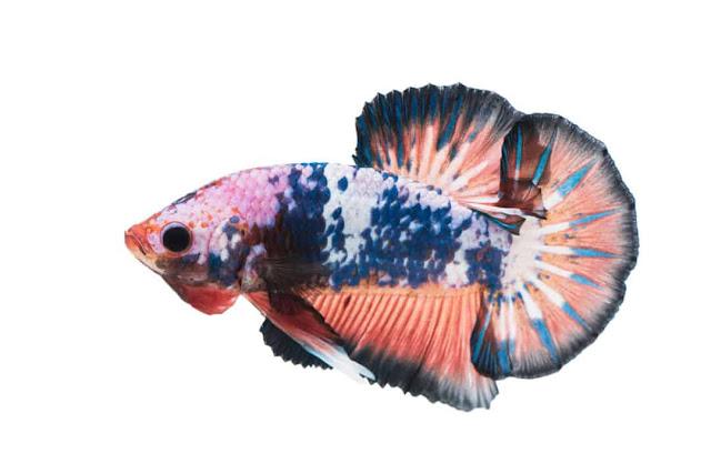 Ikan Cupang Plakat- Hantu Laut