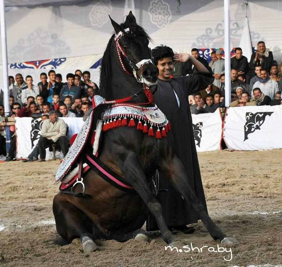 غدًا الخميس..محافظ البحيرة يشهد إنطلاق مهرجان الخيول العربية الأصيلة الثالث عشر على أرض  كوم حمادة