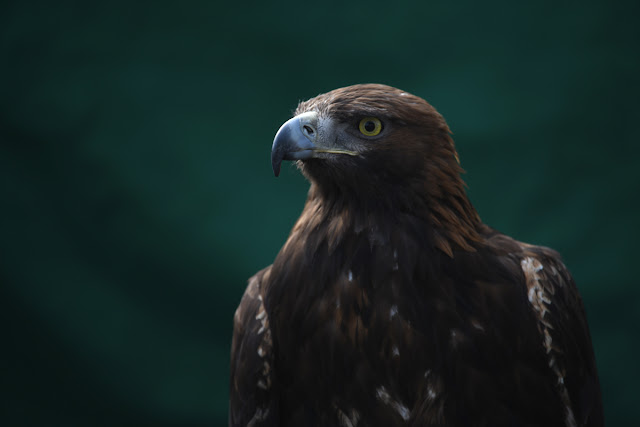 A Common Buzzard snapped with the Nikon D850 & 300mm f/4 lens