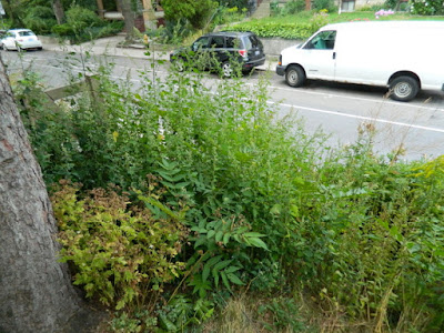 Koreatown Toronto Summer Front Garden Cleanup Before by Paul Jung Gardening Services--a Toronto Organic Gardener
