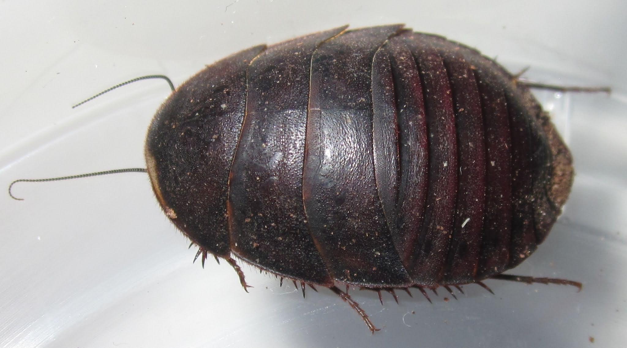 A.bollianaDelRioFemale%25237.JPG