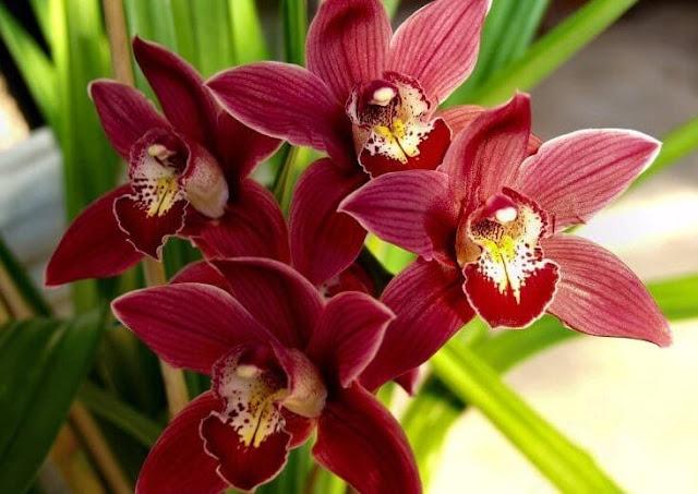 Gambar Bunga Anggrek Cymbidium