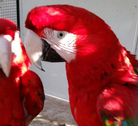 canada parrots