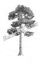 Scots Pine stipple illustration by Rachel M Scott