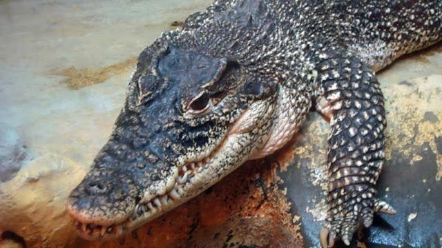 Crocodilos africanos