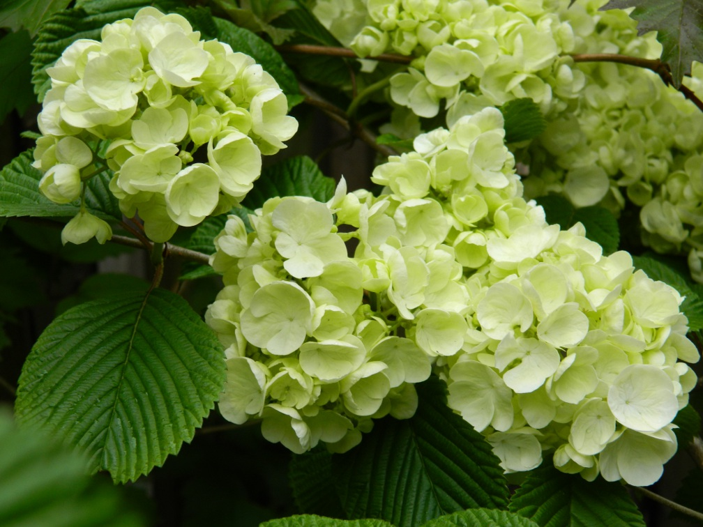 """Popcorn"" Japanese Snowball doublefile viburnum plicatum blooms by garden muses: a Toronto gardening blog"