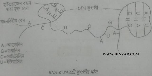 RNA- র  একতন্ত্রী  গঠন