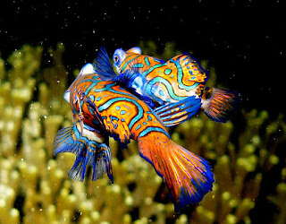 Mandarinfish mating in ocean