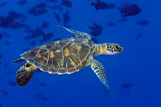 sea turtle, UN High Seas Conservation Treaty
