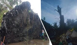 Pohon Tumbang Kembali Berdiri di Tanjungbalai Makan Korban, 3 Warga Terlempar, Satu Meninggal