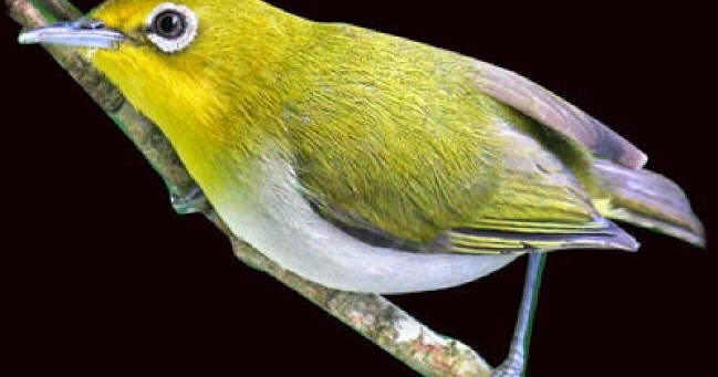 Apa Ciri Ciri Burung Pleci Buxtoni