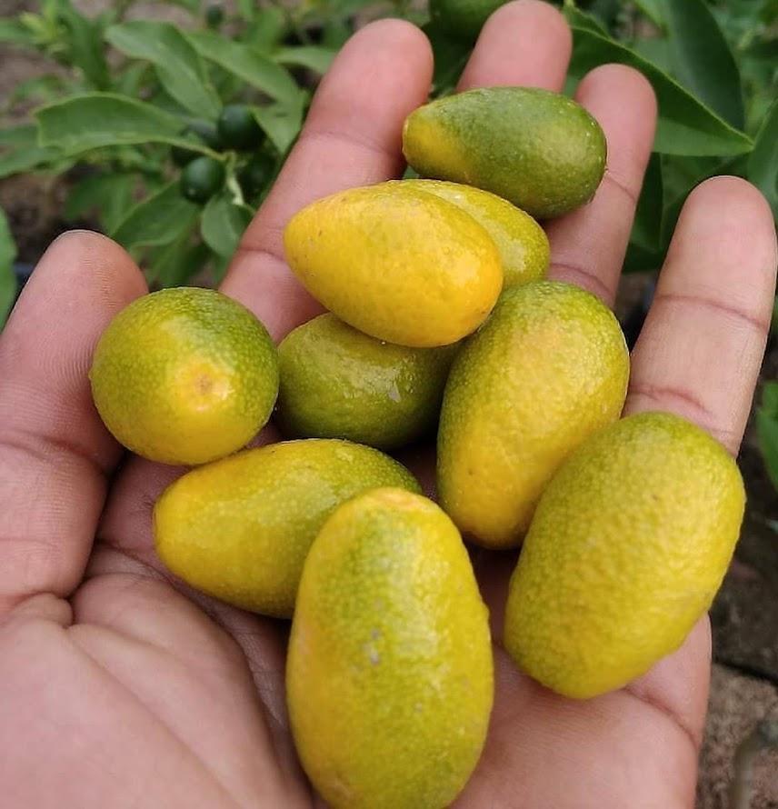bibit jeruk nagami Sumatra Barat