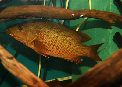 Gambar Ikan Mangrove Jack