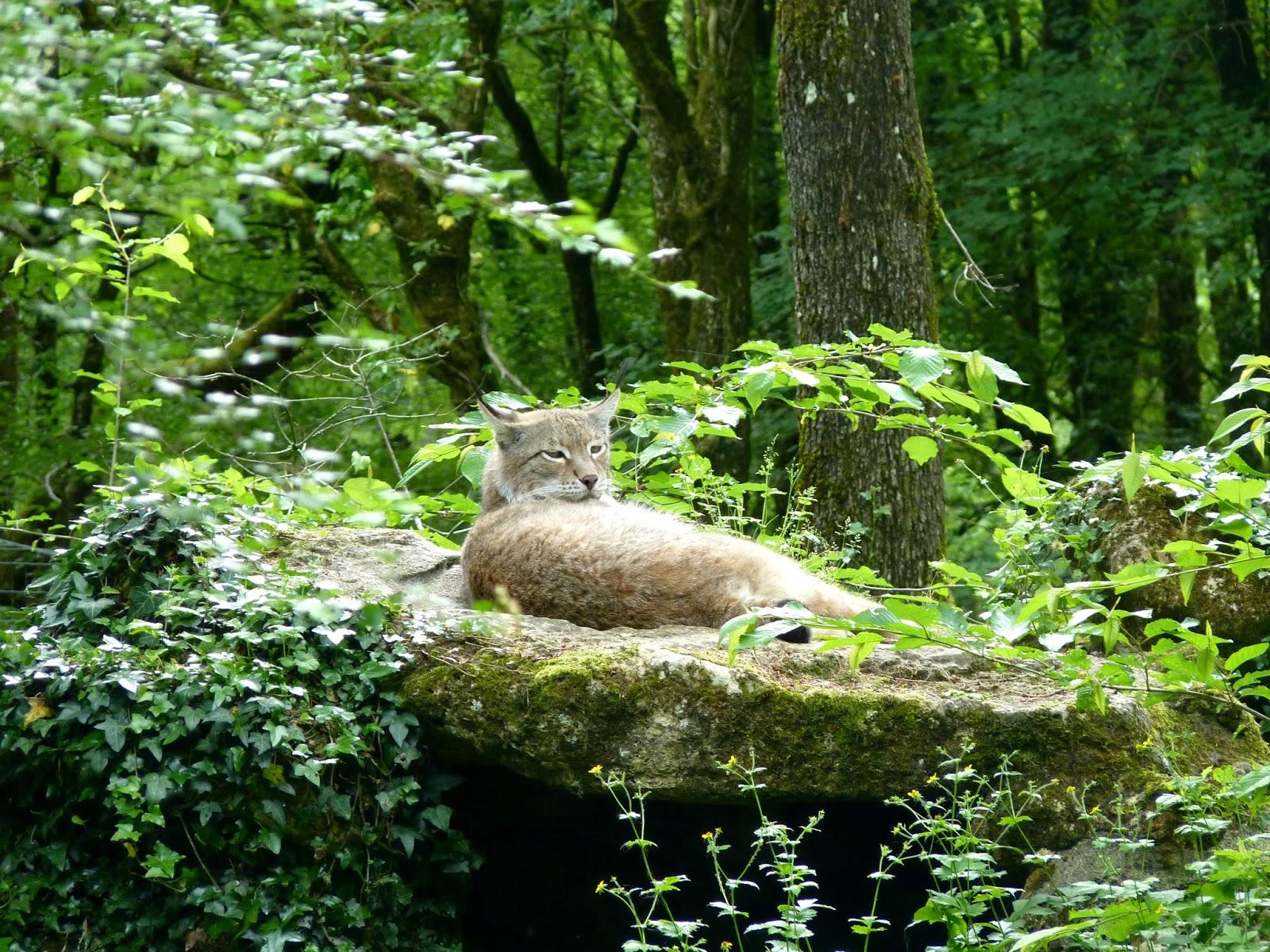 Lynx Zoodyssée à Chizé