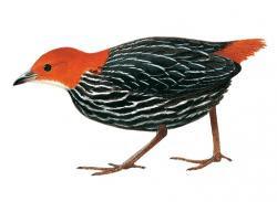 Sarothrura affinis
