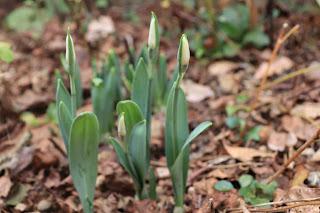 スノードロップの新芽と蕾