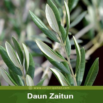 ciri ciri pohon daun zaitun